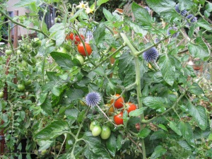 Tomatoes and Echinops