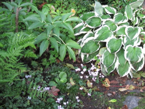 Hosta (in pot), with Hellebore and Cyclamen, Fall 2010