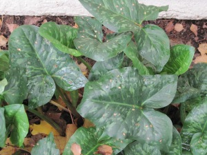 New foliage of Arum italicum