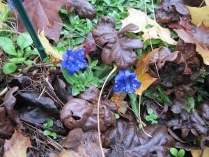 Late blooms on Gentiana acaulis