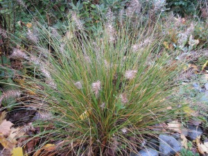"Ornamental grass ""Little Bunny"" still looking good"
