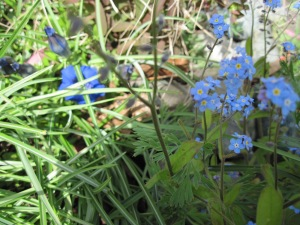 Forget-me-nots and Gentian