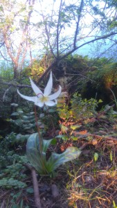 Erythronium in East Sooke Regional Park