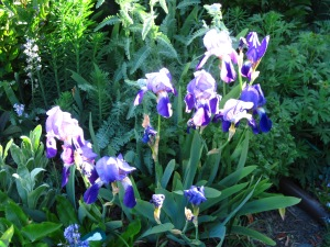 The earliest of my bearded irises, name unknown.