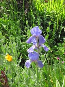 Iris pallida blooms, 2010.