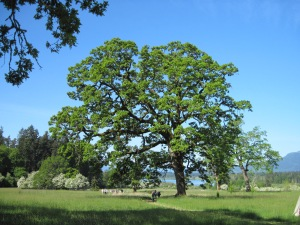 An ancient Garry Oak