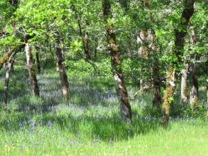 Pools of camas under oaks