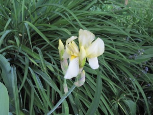 Dainty pale yellow iris, also early, name unknown.