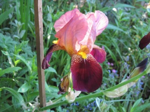Maroon/pinky-red bearded iris, name unknown.