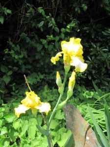 Large yellow and white bearded iris, name unknown.