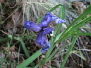 Iris sibirica, one single bloom (and not a great picture either).