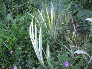 Iris pallida foliage