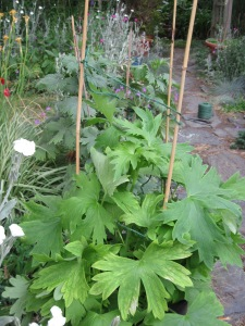 Twine wrapped around bamboo stakes and tied to support delphinium