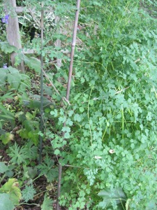 Lean-prone Thalictrum staked and tied