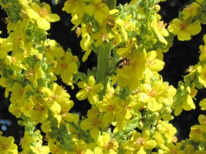 Bee among Mullein flowers.