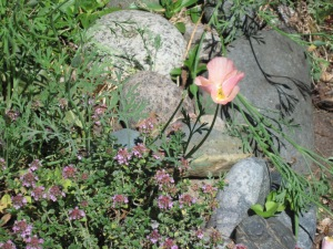 Pink California Poppy and Lemon Thyme.