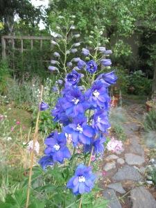Dark blue Delphinium.