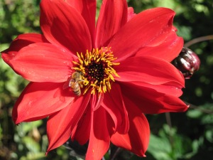 "Dahlia ""Bishop of Llandaff"" with visiting bee."