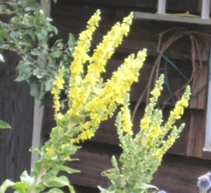 Olympic Mullein -- gardener, look out!