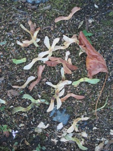 Norway maple seeds and withered leaf.