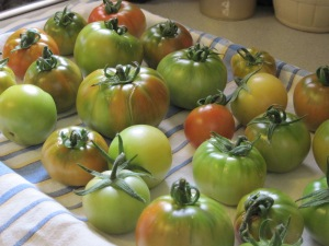 Tomatoes ripening inside
