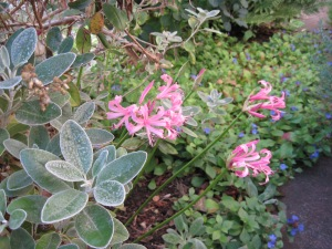 Nerines, plumbago and senecio foliage.