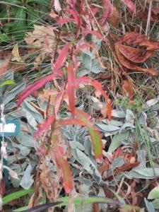 Fireweed (Epilobium angustifolium) and Lychnis coronaria foliage.