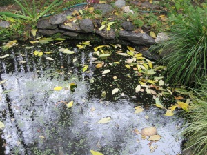 Ailanthus leaves and rain drops in the pond.