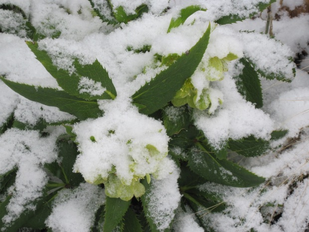 Corsican hellebore foliage and flowers under snow