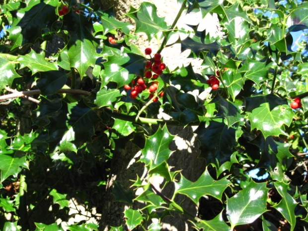 holly foliage and a few berries