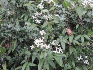 Clematis armandii foliage and flowers in holly bush