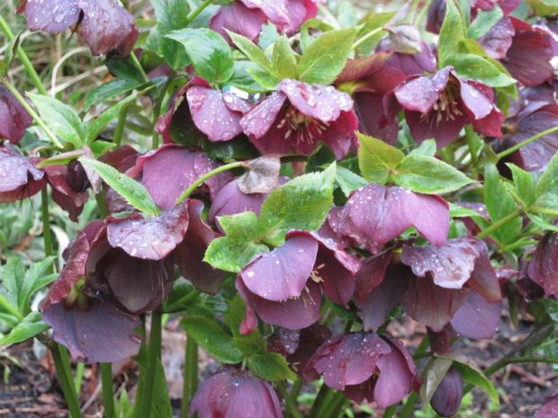 purple hellebore flowers