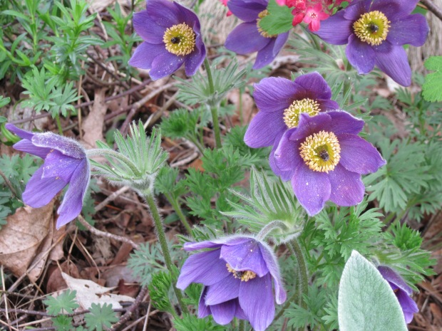 purple anemone and flowering currant