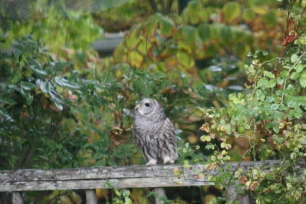 Western Screech Owl on trellis