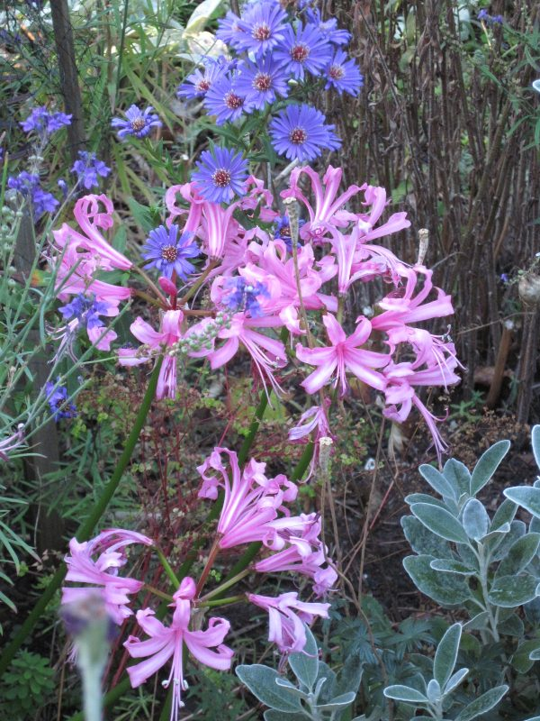 asters and nerines, fall