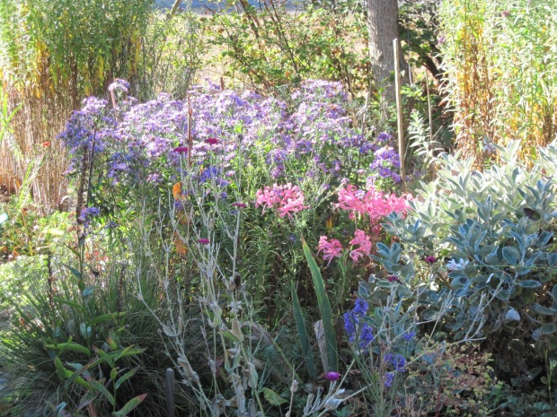 asters, nerines, senecio 'Sunshine', fall