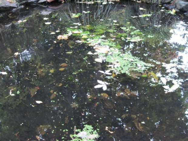 pond water dark fallen leaves and duckweed