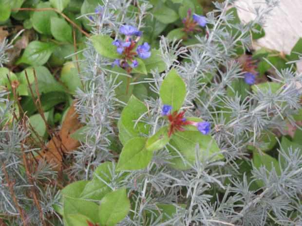santolina foliage and plumbago flowers