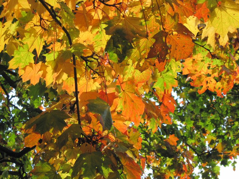 maple leaves, orange leaves, yellow leaves