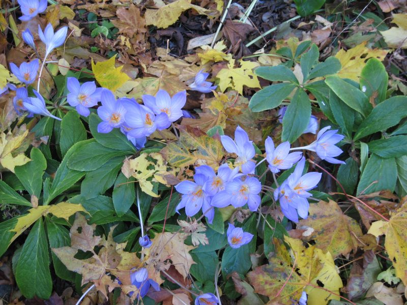 autumn crocus, fall crocus