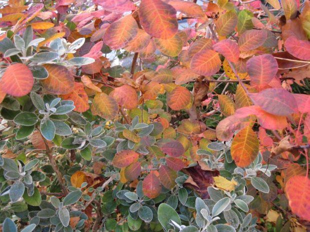 smoke bush, cotinus, fall foliage, senecio foliage