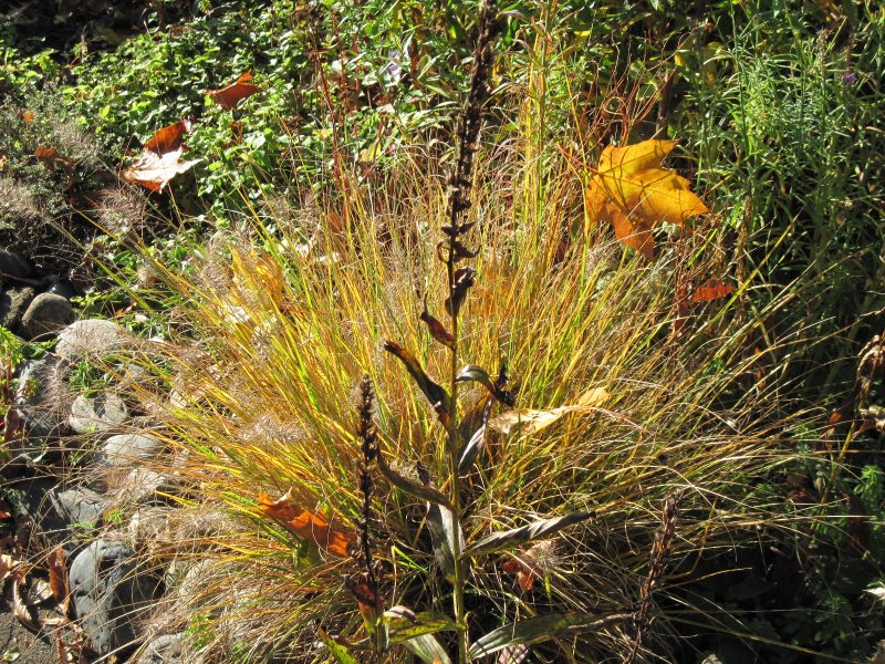 "Pennisetum alopecuroides ""Little Bunny"" ornamental grass in autumn"