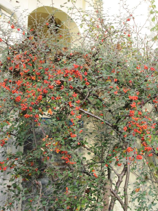 Cotoneaster with berries December