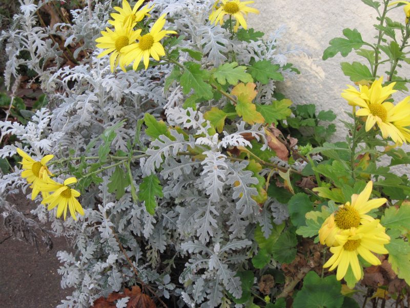 Yellow chrysanthemum and Cineraria foliage