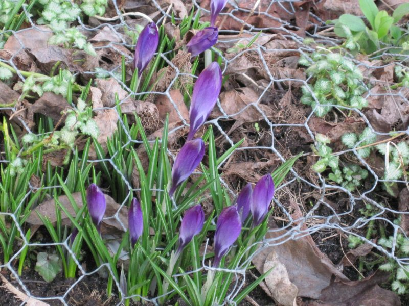 Crocuses and chicken wire to prevent rats from digging them up
