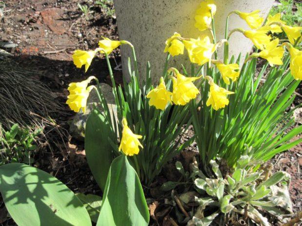 Miniature daffodil, variety unknown.