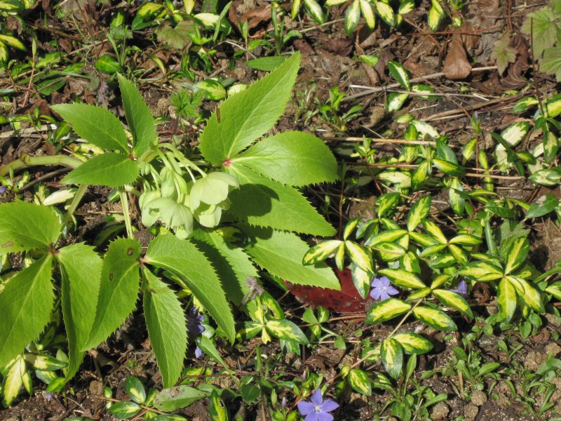 Corsican hellebore and variegated vinca, green and yellow with pale purple flowers