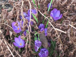 Surviving purple crocus, dead fern foliage.