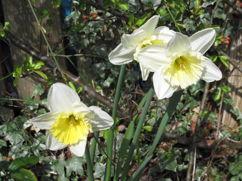 White daffodil with pale yellow middle near pond