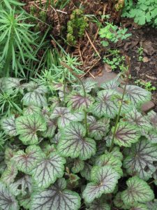 "Heuchera ""Green Spice"""